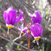 Dodocatheon conjugens flower